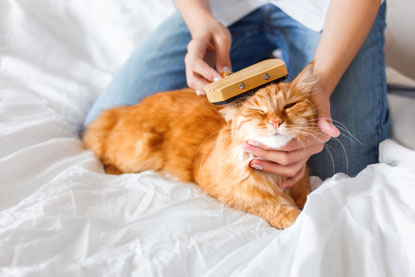 Ginger cat being groomed