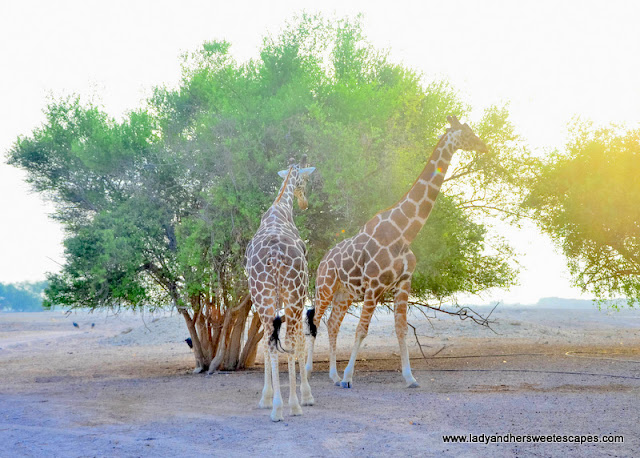 giraffes and trees in Sir Bani Yas