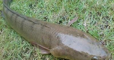 Cara Budidaya Ikan Kutuk Mudah Dilakukan