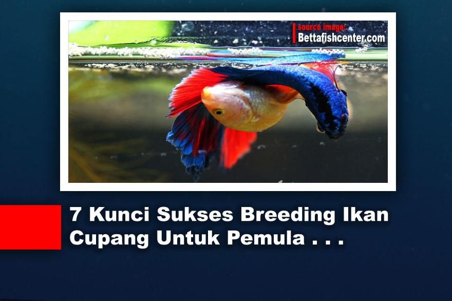 7 Kunci Sukses Breeding Ikan Cupang Untuk Pemula