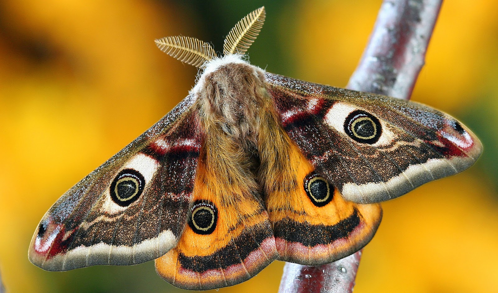 white-brown-and-orange-moth-butterfly-images