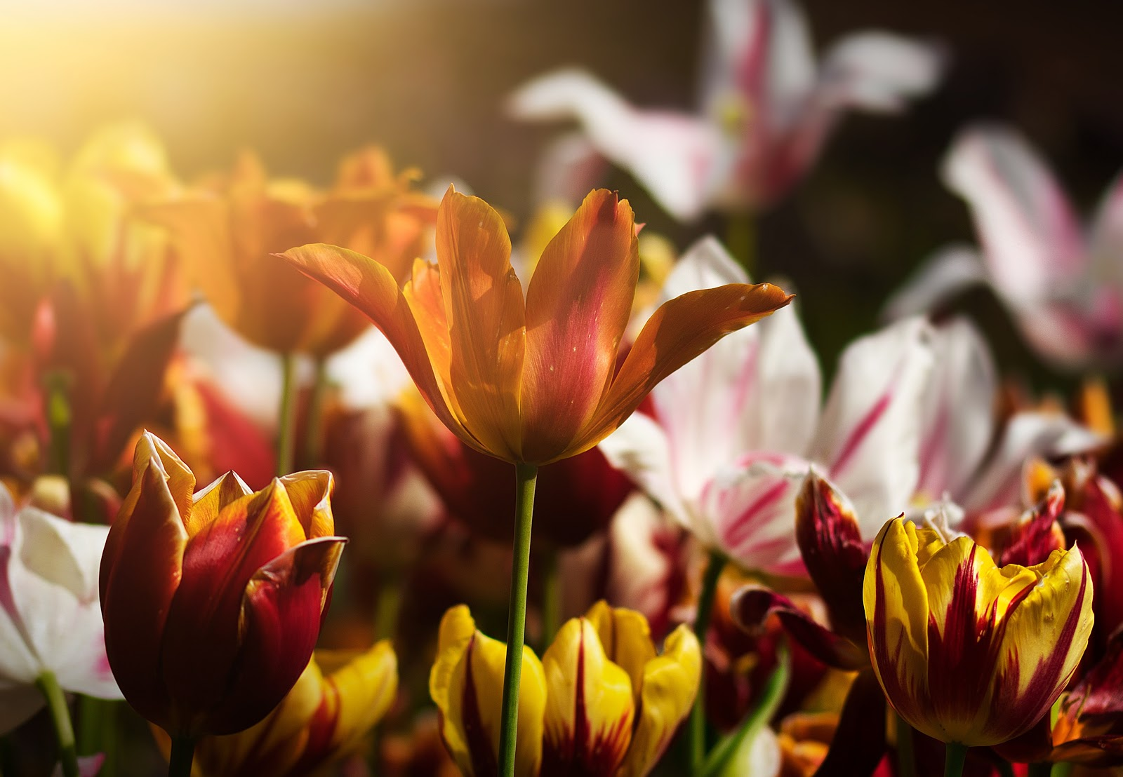tulips, flower photo