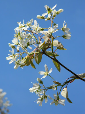 Serviceberry (Amelanchier x grandiflora 'Autumn Brilliance') spring flowers in a Riverdale ecological garden by garden muses-not another Toronto gardening blog