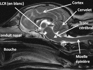 ressonância magnética em cães