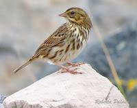 Savannah Sparrow Borden, PEI – Sept. 2, 2013 – photo by Roberta Palmer
