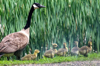 Father's Day goslings