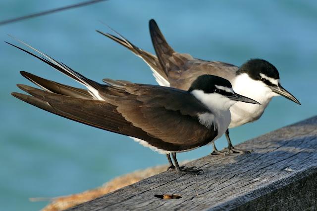 Vögel Heron Island Paar Pärchen Meer Seevögel Insel Natur
