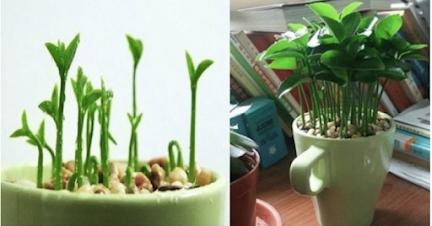 Aprende a plantar un limón en una taza y tu hogar siempre olerá bien, además, es decorativo