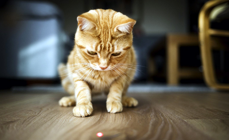 Why Do Cats Chase Lasers?