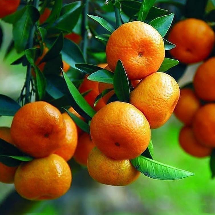 paket buah buahan dapat 4 jenis bibit buah Nusa Tenggara Timur