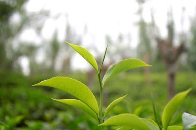 cara menghilangkan komedo - teh hijau