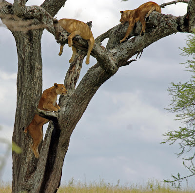 Lions climbing tree in Serengeti