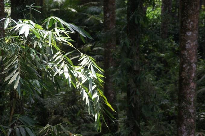 Daun Bambu diantara pohon damar