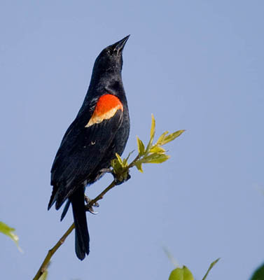 Photo of Red-winged Blackbird
