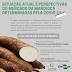 Questionário Embrapa/Cepea vai avaliar impactos da pandemia sobre o mercado de raiz de mandioca