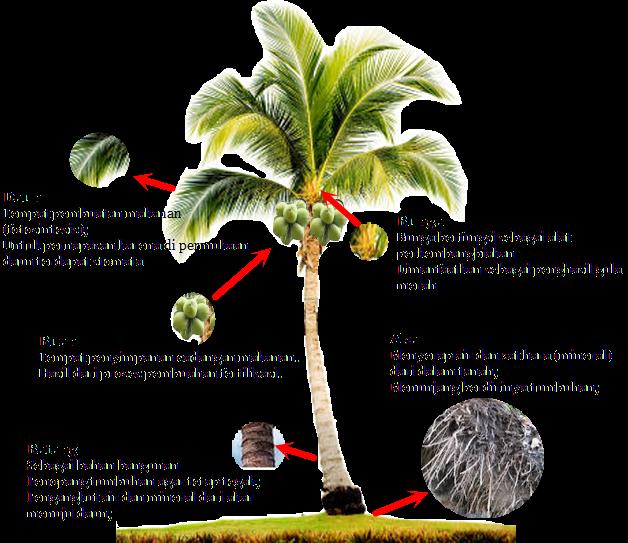 Ciri Khas Pohon Kelapa