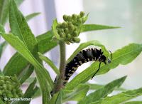 The belly of the Monarch caterpillar is greyish - © Denise Motard