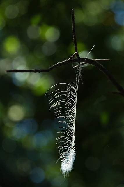 Great Egret Feather, UT Southwestern Medical Center Rookery