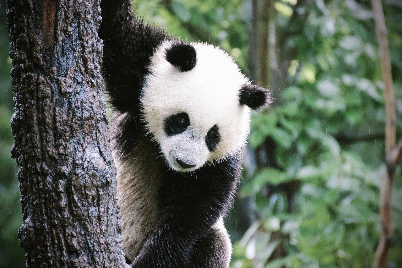 how often do pandas have babies