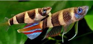 Ikan Hias Air Tawar Terindah killfish berjejer