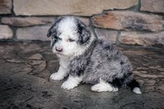 Mini Sheepadoodle Personality