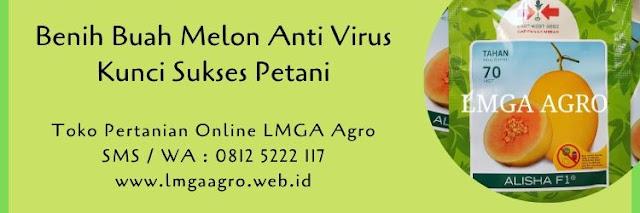 benih melon,melon,anti virus,budidaya melon,kunci sukses,pertanian,buah melon,lmga agro