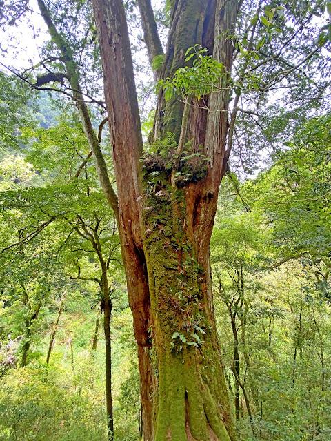 21號巨木