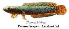Poisonn Serpent Arc-En-Ciel