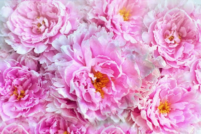 Beautiful Peony Flower Images, Flowers and Planting flowers, ideas about Peonies,  Peony lovers, pink peonies in flower, pink peony on a white background, peony stock photos and pictures