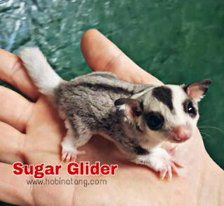 Perbedaan Sugar Glider dan Tupai Terbang