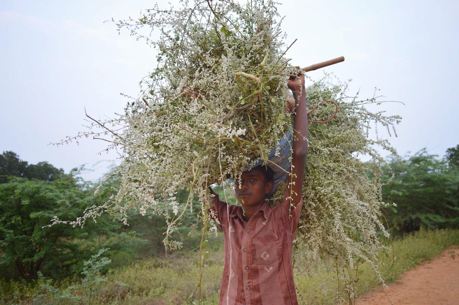 "Poolaippoo"" Kappu kattu is an important faith in Thottiyapatty region for Pongal"