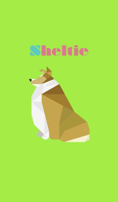 Sheltie(Golden sable)