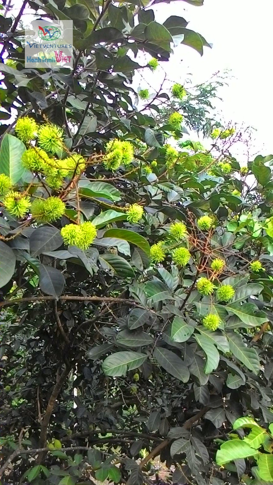 Hè sắp về, trái cây cũng sắp về ở Sông Nhạn, Đồng Nai