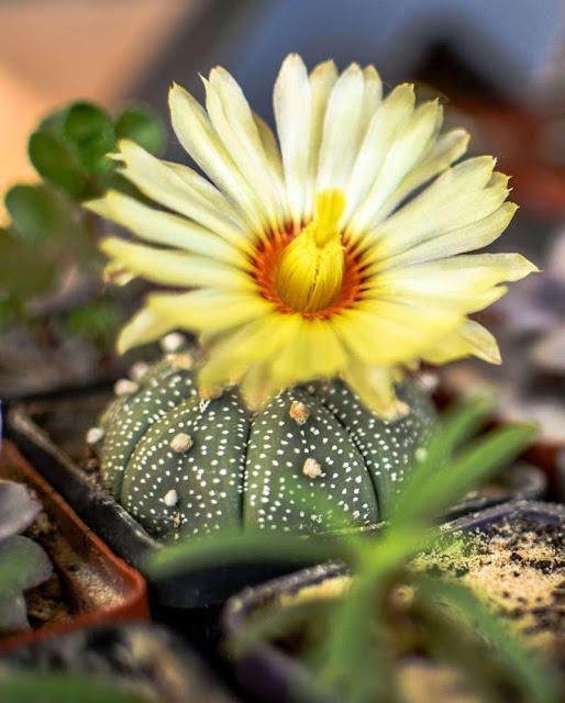 Kaktus Bintang