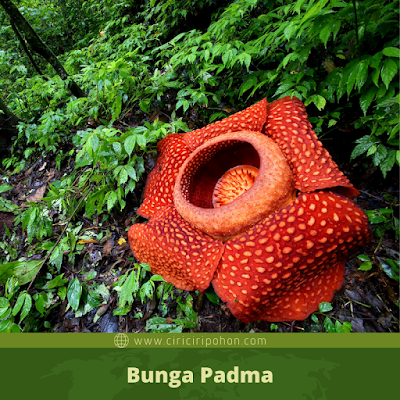 Bunga Padma