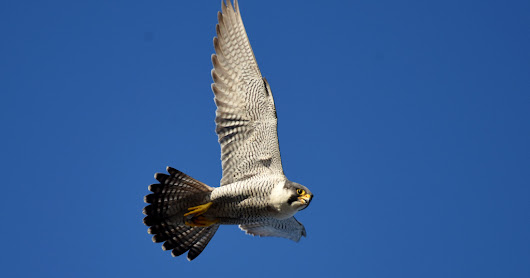Kingston College Peregrine Falcons