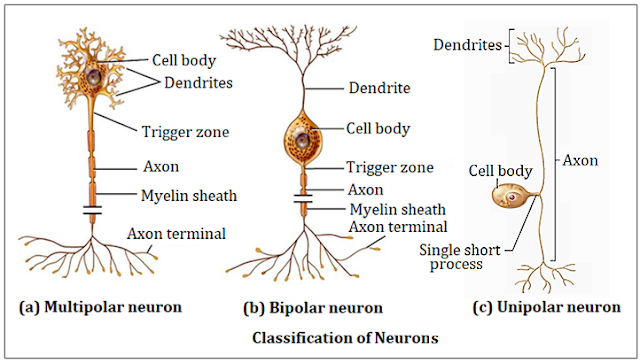 Neuron and Classification of Neuron