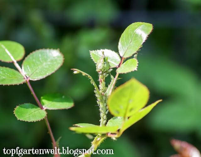 grüne Blattläuse auf Rosen | Gartenblog Topfgartenwelt