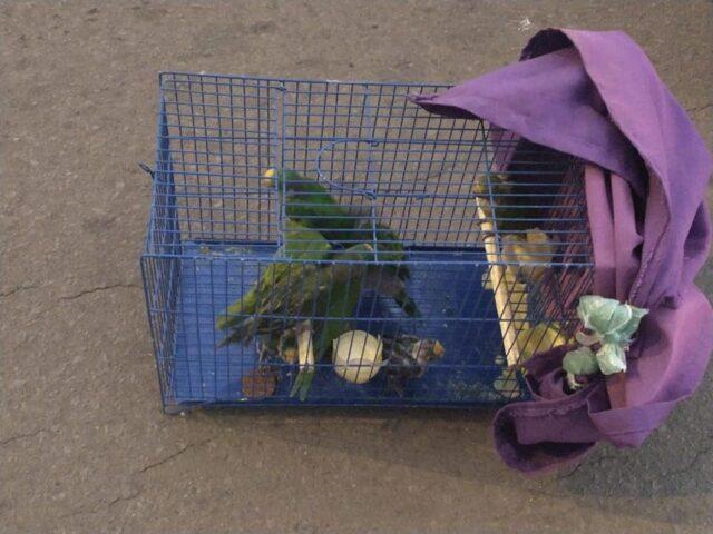 Homem é preso em Elesbão Veloso transportando 9 aves e deverá responder por crime previsto na legislação ambiental.