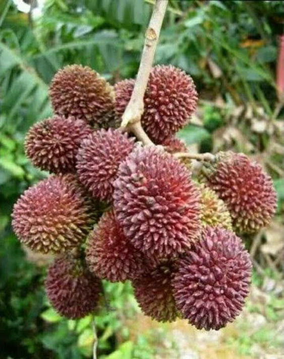 bibit rambutan rapiah Jawa Barat