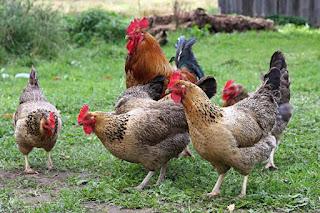 Cara Beternak Ayam Buras