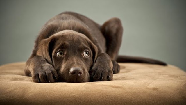 Οι πιο συχνές αιτίες απώλειας τριχώματος στο σκύλο