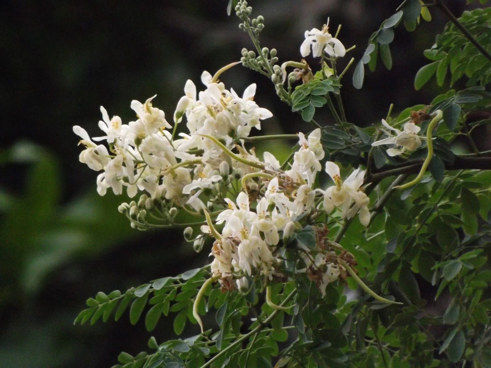 Shojna Drumstick Tree Moringa Oleifera