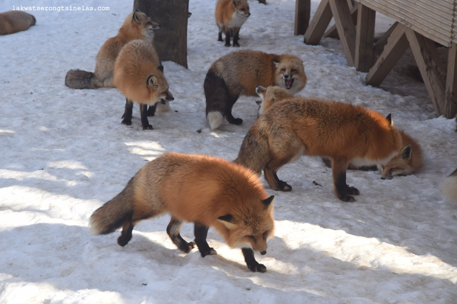 ONE WINTER AT MIYAGI ZAO FOX VILLAGE OF JAPAN