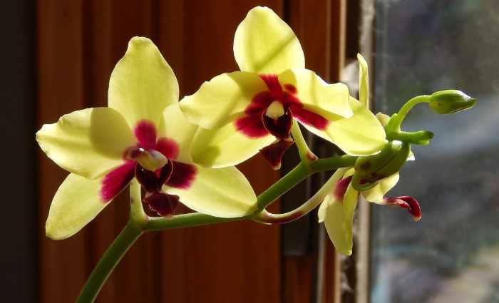 Orquídea phalaenopsis 4