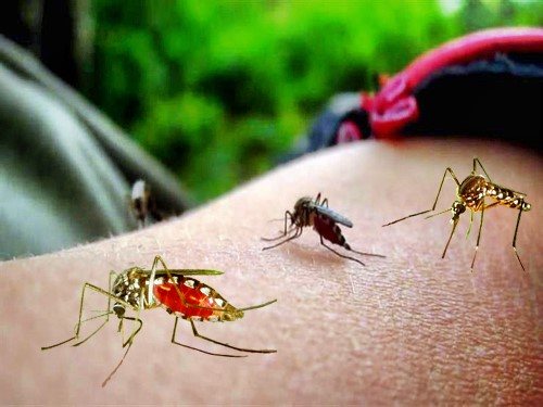 about dengue mosquito, about mosquito bites, mosquito aedes, best mosquito repellent, best remedy for mosquito bites