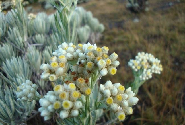 Jenis jenis bunga edelweis