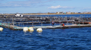 salmon aquaculture, salmon pen farming, pacific northwest, atlantic salmon