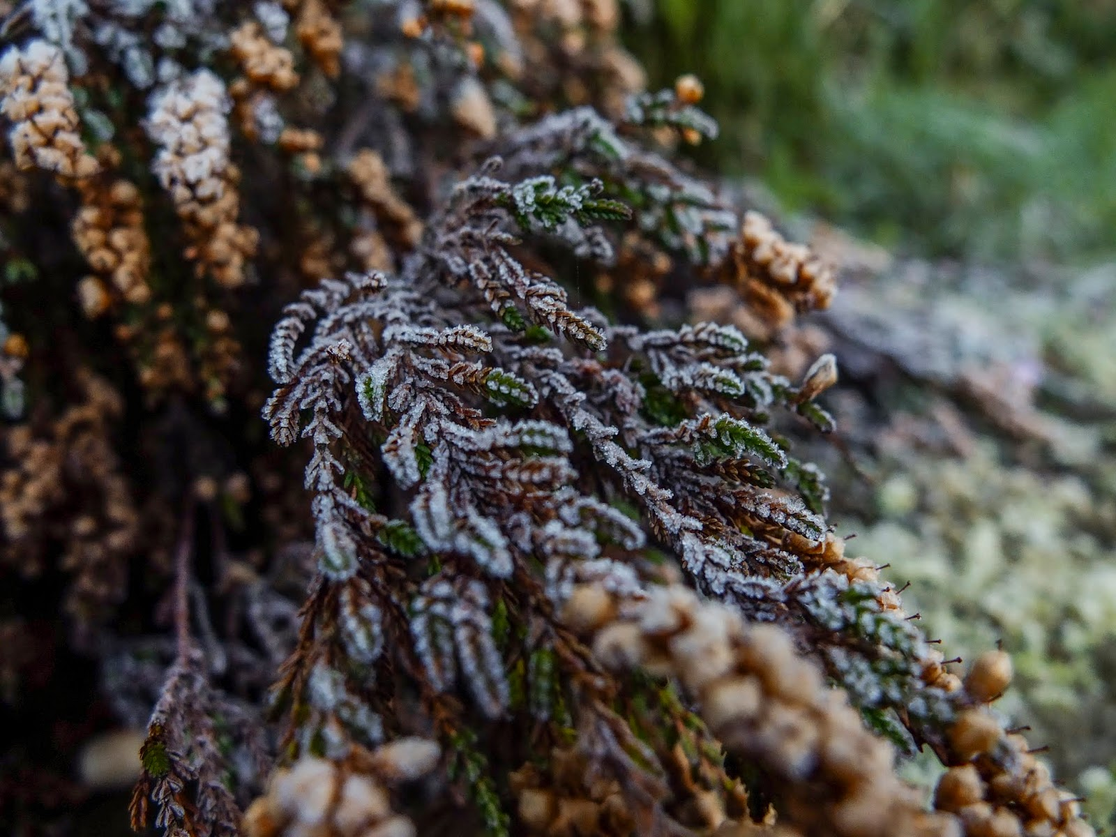 A close up of frost covered Heather.