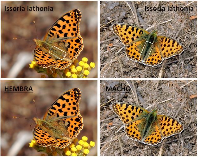 Macho y hembra de Issoria lathonia
